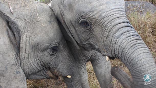 "Annabelle und Tulku in der Elefantenkrippe ""Zimbabwe Elephant Nursery"" (ZEN)."