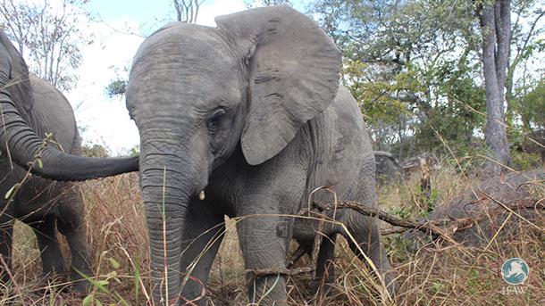 Tulku war zum Zeitpunkt der Rettung schwer verletzt. Jetzt erholt er sich in der Elefantenkrippe.