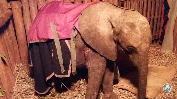 zambia elephant orphan awake after a long night