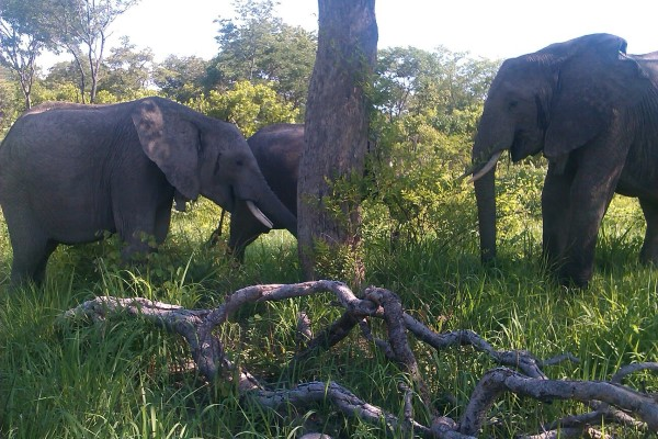 Chodoba, Batoka and Kafue in the Kalenje Forest 23rd Dec - last time all 3 seen together in the wild.