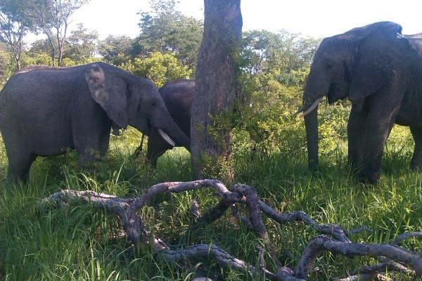 Chodoba, Batoka et Kafue dans la forêt de Kalenji le 23 décembre dernier. C'est la dernière fois qu'ils ont été aperçus ensemble dans la nature.