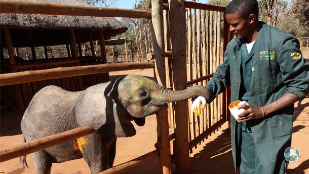 New rescue, Mkaliva, receives treatment after her arrival at Lilayi Elephant Nursery and bonds with one of her keepers.