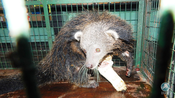 IFAW-WTI Veterinarians Fix a Binturong's Broken Bone