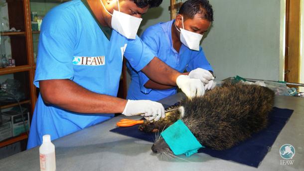 Gestern Vormittag operierte das Tierärzte-Team unseres indischen Wildtier-Rehabilitationszentrums das gebrochene Vorderbein eines Binturong-Weibchens.