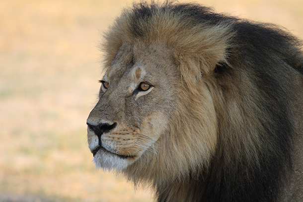 The deaths of Cecil the Lion (pictured) and the gorilla Harambe have prompted renewed discussions of what wildlife conservation really means.Photo:© Paula French