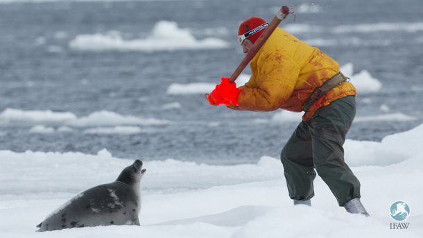 A Canadian sealer clubs a beater harp seal pup that's looking up at him on the ice in the Gulf of St. Lawrence, Canada, 2003.