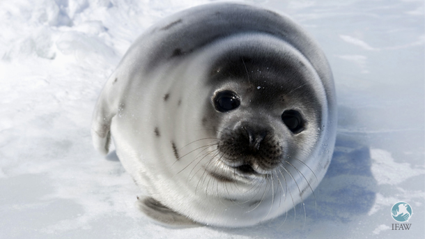 seal on the ice of the Gulf of St. Lawrence, Canada