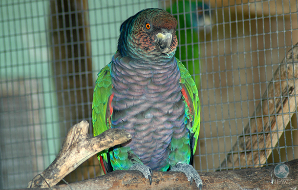 Imperial Parrot, an endangered and endemic parrot on the island of Dominica. Portugal often acts as an entry point for wildlife trade from the Caribbean.