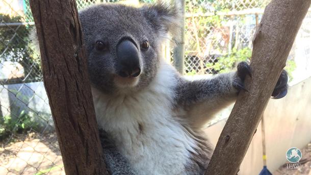Inside look into Friends of the Koala