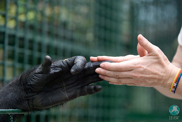 Copyright: IFAW / Carin Cloete, National Zoological Gardens of Pretoria Primate keeper, says an emotional goodbye to the gorillas she helped raise and care for during the past 3 years.