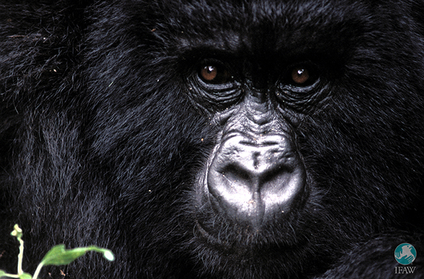 Copyright IFAW / Christian Kaiser A young mountain gorilla (Gorilla gorilla beringei) living in the rain forest of Virunga National Park, Congo.