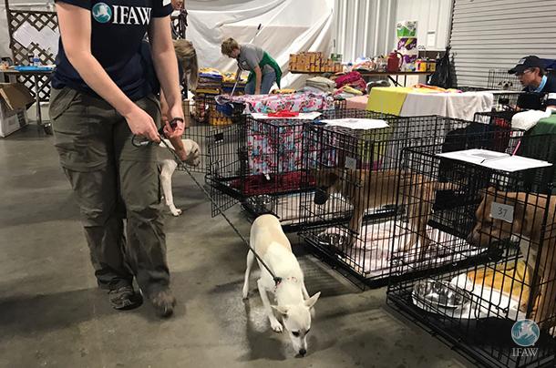 IFAW apporte actuellement son soutien à American Humane afin de répondre aux besoins urgents d'abris à Houston au Texas.