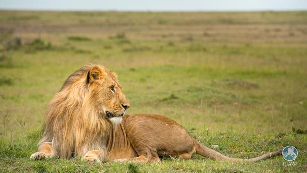 Lion in Mara Northern Conservancy, Kenya.