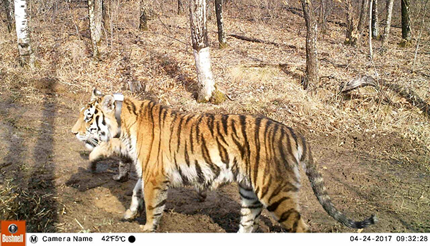 svetlaya, a rehabilitated and released amur tiger