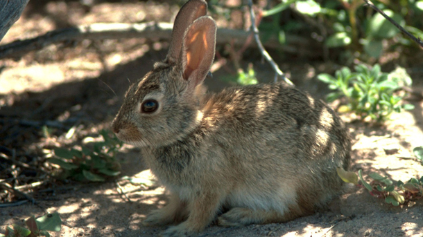 The critically endangered Riverine Rabbit (Bunolagus monticularis) © Wikimedia Commons