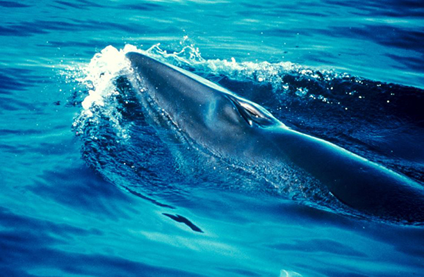 A minke whale; Japan wants to kill another 4,000 in the name of 'science'. c. IFAW