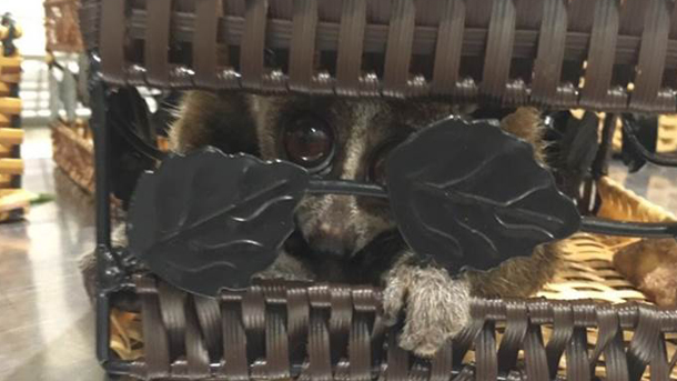 Five slender lorises were smuggled out of Vietnam. Photo © Customs of Domodedovo