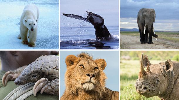 Campagnes van het IFAW hebben op verschillende politieke fronten successen opgeleverd voor de dieren, van bescherming onder internationale verdragen, tot succesvolle voorstellen voor wijzigingen in nationale wetgeving en beleid.
