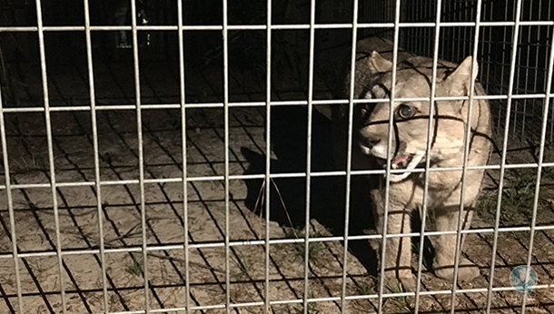 patagonian puma rescued from abandoned zoo