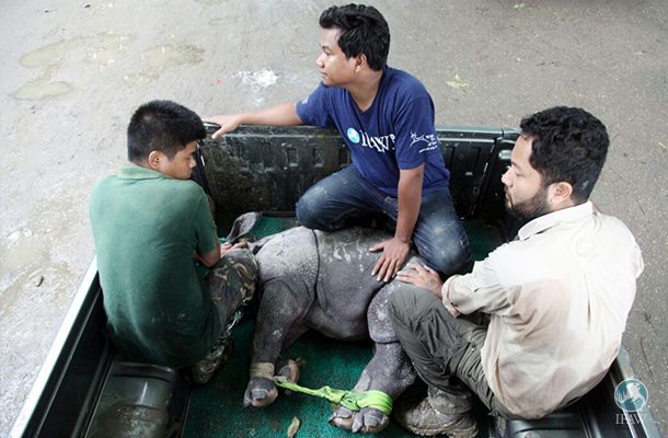 baby rhino carried by truck from the floods in assam india