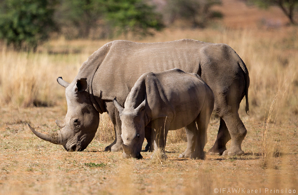 African rhinos in south africa