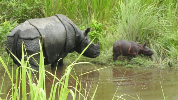Een neushoorn die na rehabilitatie is uitgezet in Manas National Park, is voor de tweede keer moeder geworden. Foto: Gobinda Garh/Assam Forest Department