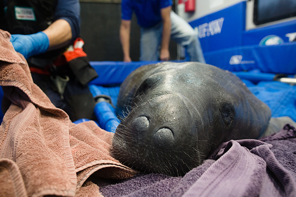 Stakes increased as rescuers discovered the wayward sea cow was pregnant. © IFAW