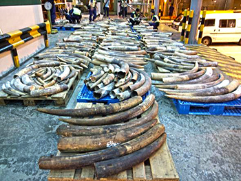 In May 2006, Hong Kong Customs foiled another attempt to smuggle ivory into mainland China. 600 tusks (3.9 tonnes) were found behind a hidden compartment in a truck.