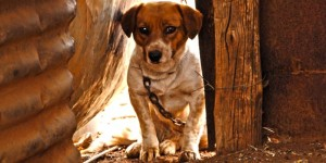 Der extreme kurz angebundene kleine Hund, der angeblich Hühner reißt.