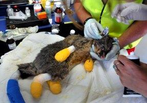An injured brushtail possum.