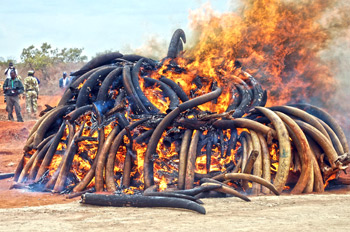 This particular ivory burning was done during the first African Elephant Law Enforcement Celebrations held on July 20, 2011 at Kenya Wildlife Services Field Training School at Manyani, Kenya. C. IFAW/J. Isiche