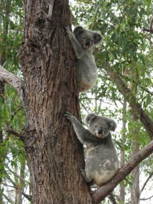 Photo Credit: Friends of the Koala