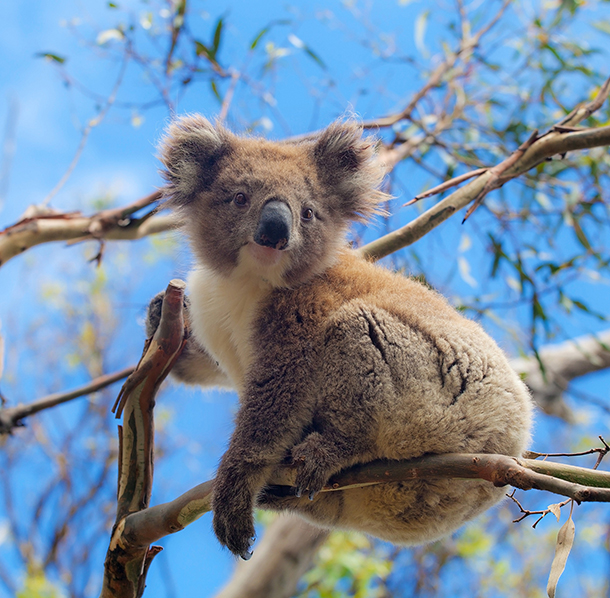 We can't leave it to politicians to save our koalas – it's down to all of us.