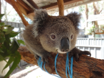 Koala patient at Koala Hospital Port Macquarie.