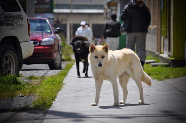 It is very common that a dog or two will join you in a walk on the street Puerto Natales, Chile.