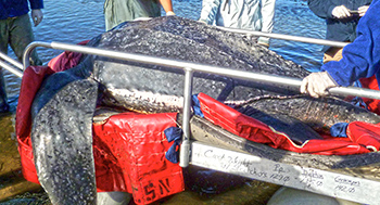 IFAW helped with the rescue and transport of a 7-foot, 655 pound leatherback sea turtle in September 2012.