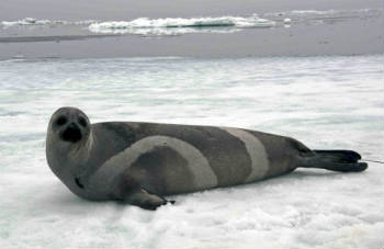 A ribbon seal rests on sea ice in the Bering Sea. Photo: John Jansen/NOAA