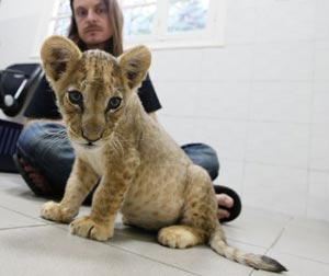 The lion cub in question. Image source: The Toronto Sun online.
