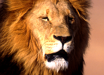 IFAW supports the effort to list the African lion as an endangered species under the U.S. Endangered Species Act.