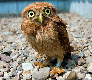 The Little Owl, now in the care of the Beijing Raptor Rescue Center in China.