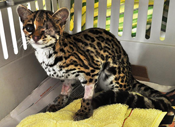 The margay fully recovered from the eye surgery and ready to go to the Federal Facility.
