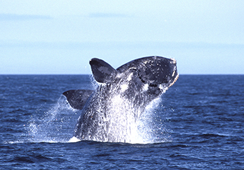 A breaching North Atlantic right whale. c. IFAW