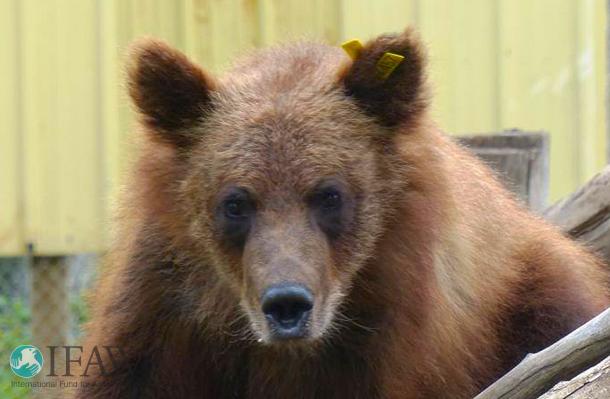 Verwaister Grizzlybär Littlefoot ist wieder frei. Foto: NLWS