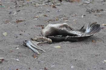 Dead pelican on Peruvian Beach. IFAW/S.Heredia