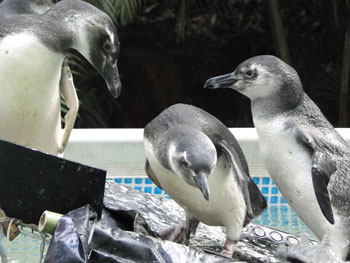 Penguins rehabilitated at IPRAM in Brazil.
