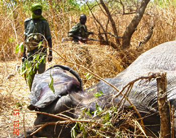 Rangers find an elephant felled by poachers.