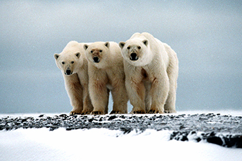 Commissioner Potočnik: join the fight to protect the polar bear from international trade