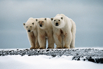 The planet's remaining polar bears are headed towards the precipice of extinction.