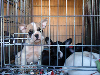 The PUPS Act would require commercial breeders who sell their puppies directly to the public, sight unseen, to be meet basic care requirements of the Animal Welfare Act (AWA) and to be licensed and inspected by the USDA.