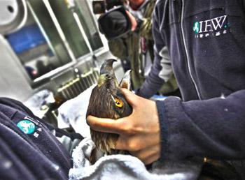 IFAW vets care for a golden eagle, as they would any other patient, at the Beijing Raptor Rescue Center in China.